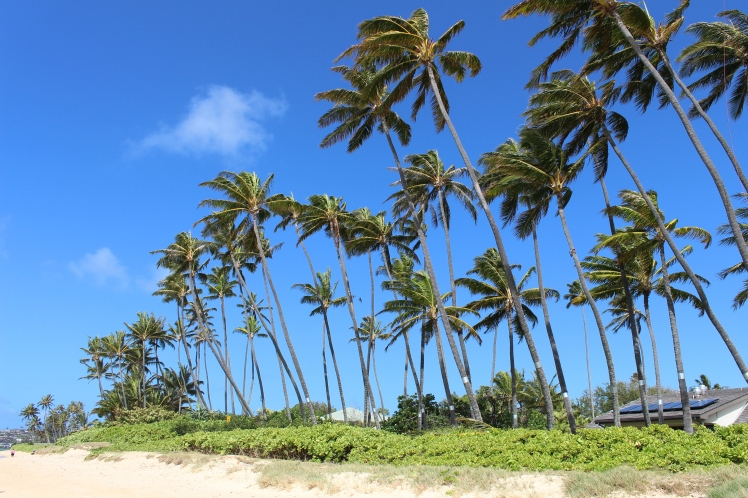 Fun fact: Property owners with coconut-laden palm trees pay $75-$150 per tree for the removal of coconuts lest they are held liable for a coconut-induced injury or death.  Paradise is expensive.